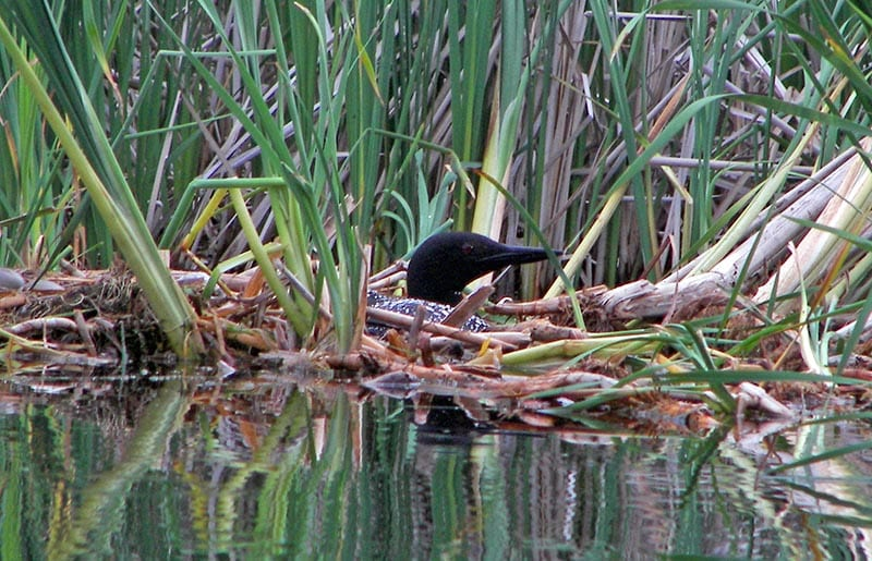 Loon sitting in grass near water.