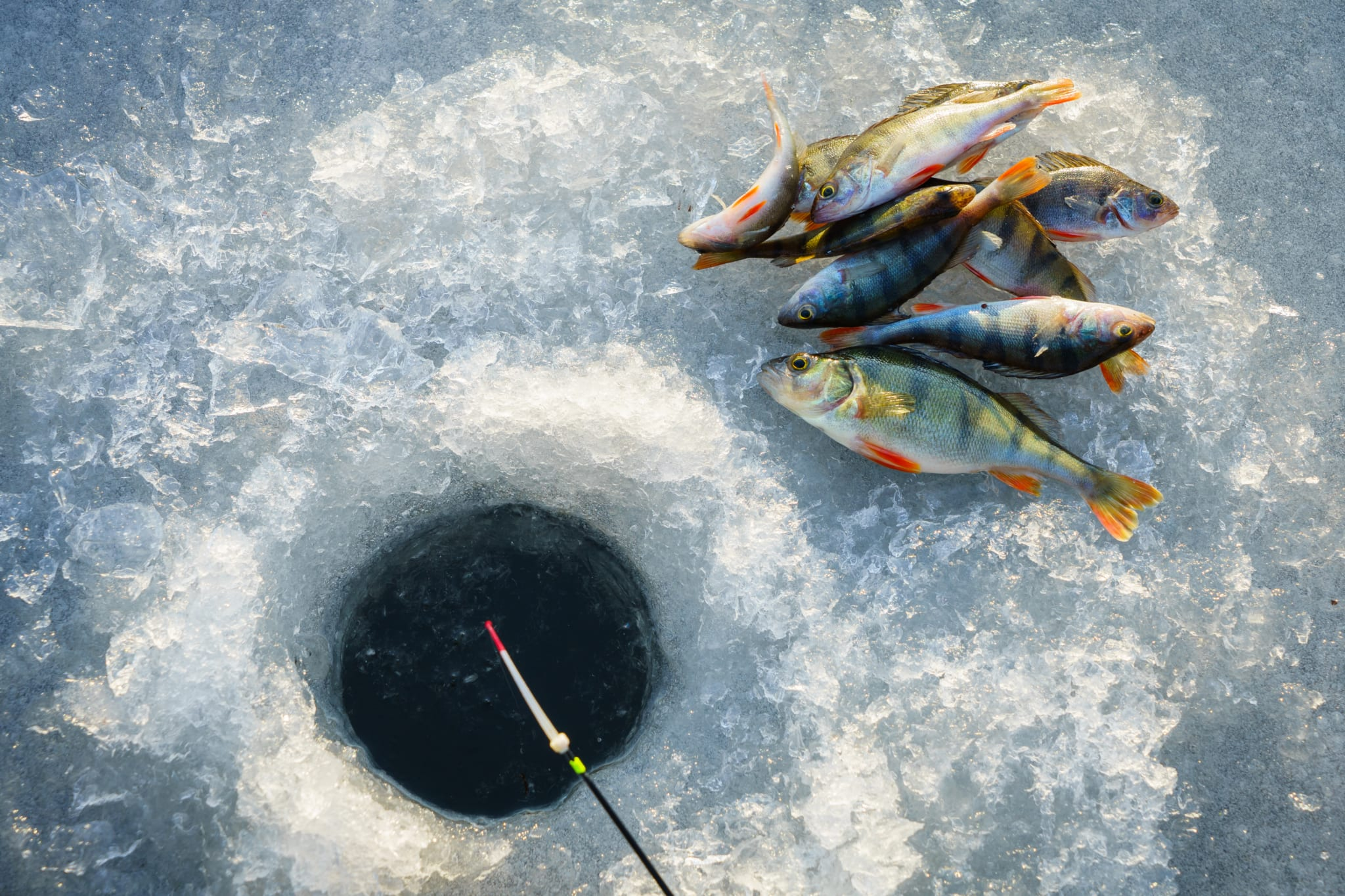 Fish laying on ice near ice fishing hole.