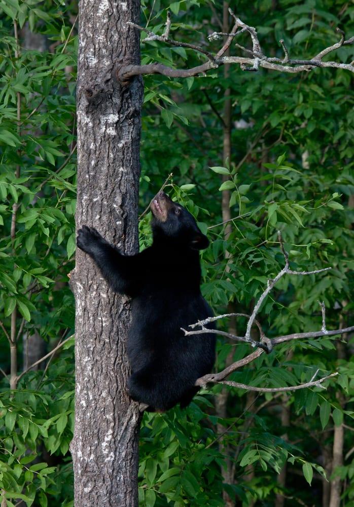 Black bear climbing tree trunk.