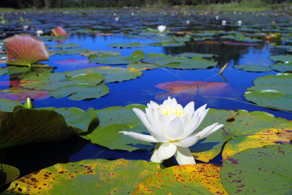 Water lily on bog.