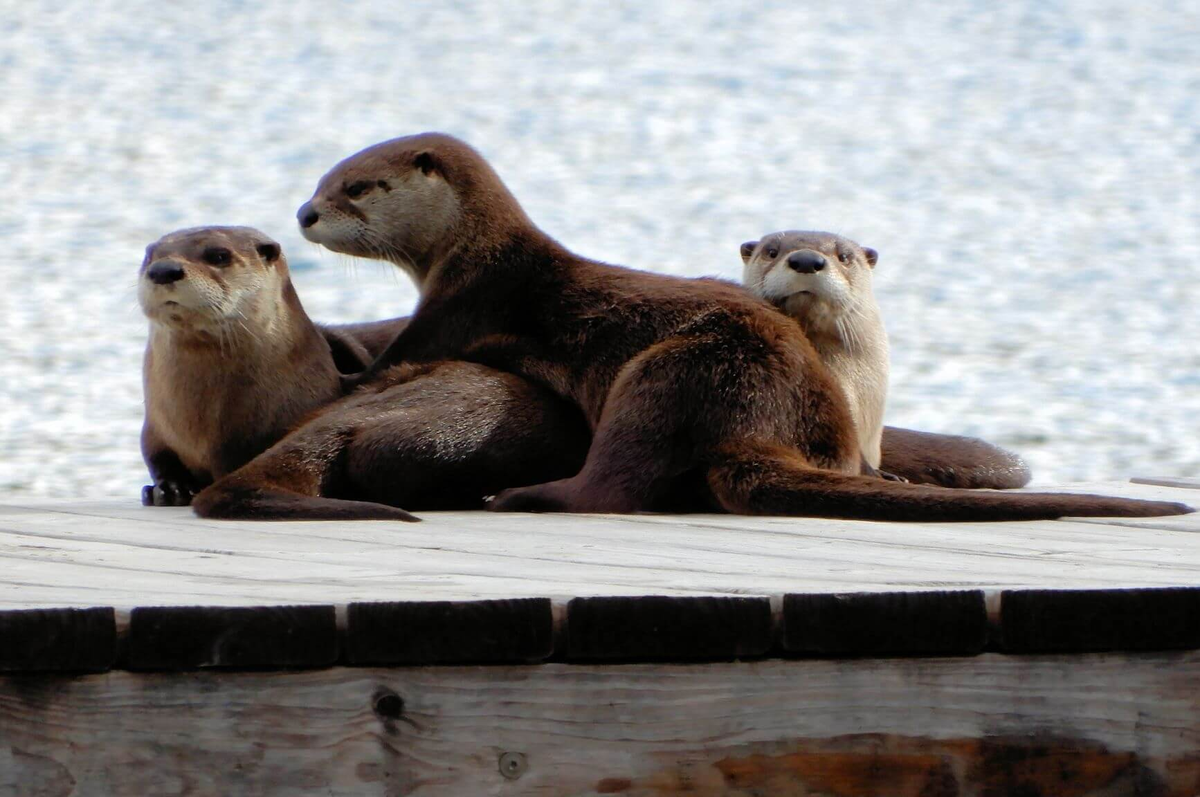 Three otters sitting on a dock.